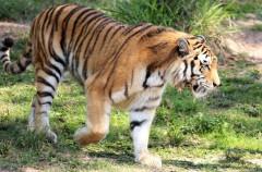 Aumenta el número de ejemplares del tigre salvaje