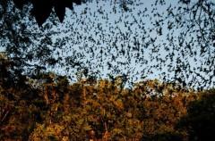 Batemans Bay, un pueblo lleno de murciélagos