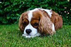 Cómo expresan dolor los perros