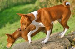 Basenji, la raza de perro que no ladra