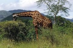 Una jirafa que va perdiendo el color