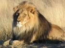 India, el lugar en el condenan a los leones a cadena perpetua