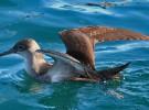 La población global de aves marinas desciende un 70% en apenas 60 años