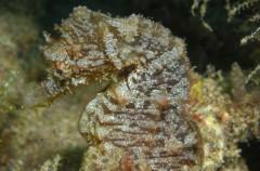 Detectan en las islas Cíes una amenazada especie de caballito de mar