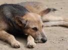 Cómo detectar la sarna en perros