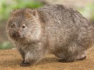 Tonka, el wombat australiano que ha fallecido de depresión