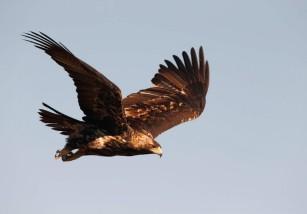 Aves rapaces: 50 años de protección oficial en España