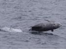 Calderón gris: un nuevo cetáceo políglota