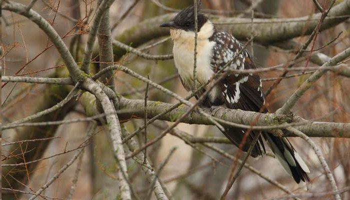 Aves parasitarias: críalo europeo