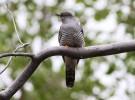 Aves parasitarias: cuco