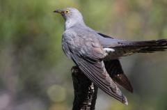 Los cucos evitan los nidos de las aves cercanas a núcleos urbanos