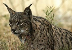 Los linces ibéricos se alejan de la extinción con el repunte de sus poblaciones