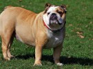 La salud de los bulldog ingleses, en peligro por la cría selectiva