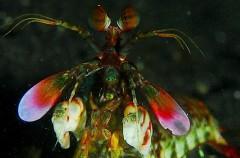 La poderosa patada del camarón mantis