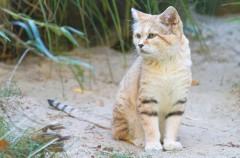 Consiguen ver a uno de los gatos más raros del mundo