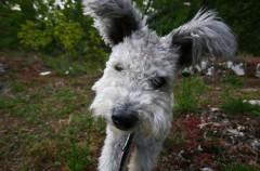 Pumi, así es la raza de perros más nueva