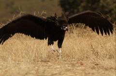 Los buitres negros de GREFA ya habitan en la Sierra de la Demanda