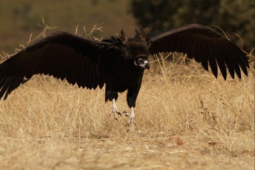 Los buitres negros de Rascafría se recuperan con fuerza