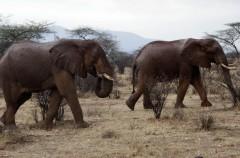 La supervivencia del elefante en el punto de mira