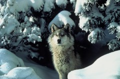 Noruega quiere exterminar sus poblaciones de lobo