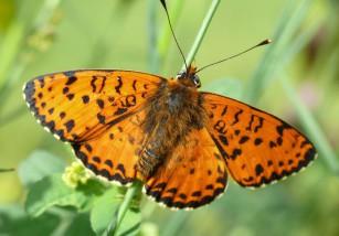 El cambio climático también pasa factura a las mariposas