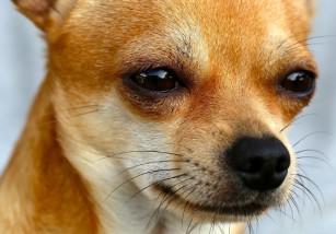 Chihuahuas, una de las razas de perros más agresivas