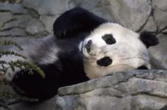 El oso panda ya no es una especie en peligro de extinción, pero sigue siendo vulnerable
