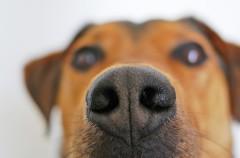 Marihuana y perros, una mala combinación