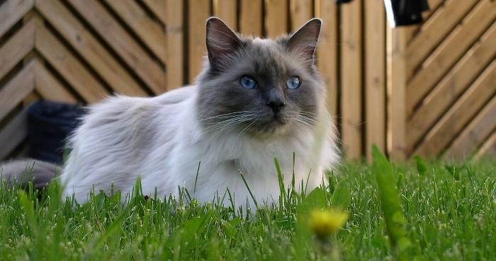 Ragdoll, un gato con actitud de perro