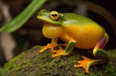 <em>Litoria bella</em>, la última especie de rana arborícola descubierta