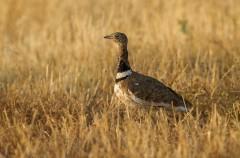 La agricultura intensiva ha reducido las poblaciones de aves en 64 millones de ejemplares