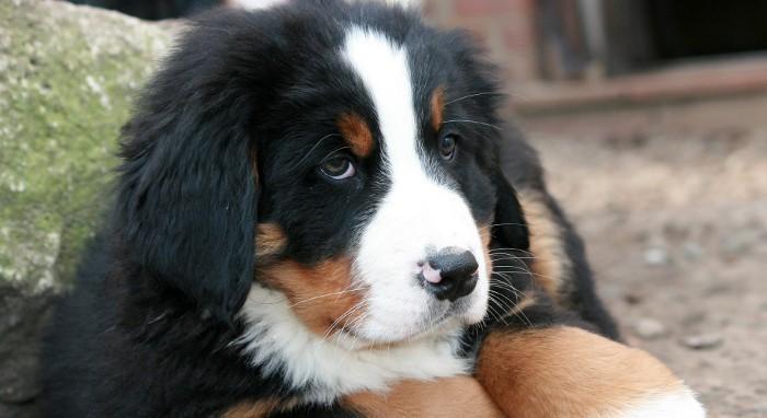 El pesimismo también es malo para los perros