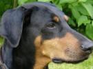 Quedan prohibidas las amputaciones a perros con fines estéticos