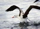 El olor de los plásticos hace que las aves marinas los confundan con comida