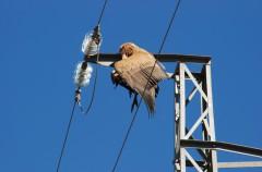 Las eléctricas españolas recibirán 15 millones al año para evitar la electrocución de aves