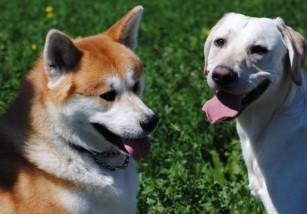 Calmando la tos en los perros
