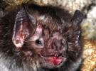 Sangre humana, el alimento preferido del vampiro Diphylla ecaudata