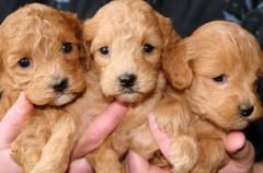 24 cachorros, el número máximo de perros nacidos en una camada