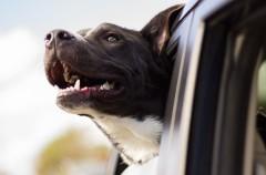 Londres: viajan con perros en el autobús, con resultados excelentes