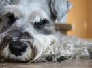 Cómo mejorar el nivel de plaquetas de vuestros animales
