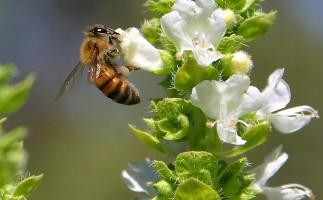 Abejas en peligro: Europa prohíbe tres pesticidas
