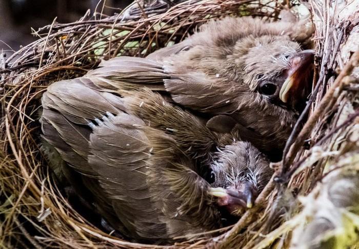 SEO/Birdlife advierte: no te lleves los pájaros caídos de un nido