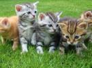 Comidas ideales para gatitos