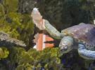 Una tortuga se tragó más de mil monedas