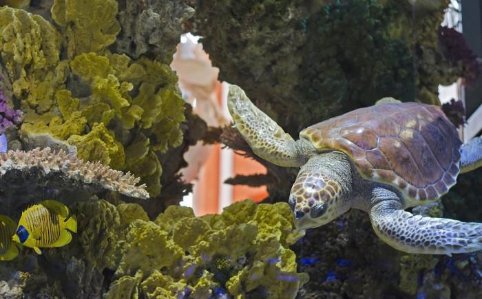 Una tortuga que casi muere por las monedas que le arrojaban