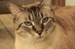 Cómo saber si mi gato tiene infección de orina