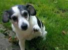 Los perros de raza mixta, los más nerviosos