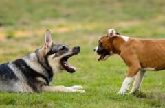 Rescatan a 230 perros destinados a peleas ilegales