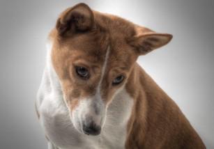 Cómo cuidar un perro de raza Bajenji