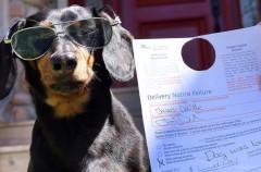 Crusoe, un perro salchicha que limpia las calles de Nueva York